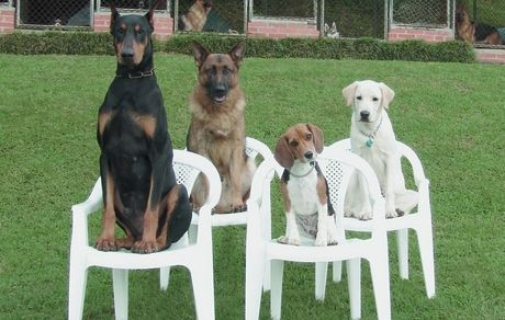 """Four Dogs sitting (""""placing"""") in chairs"""